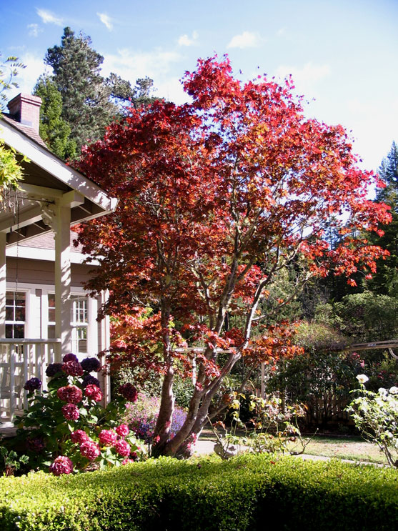 Red Maple tree at the Mendocino Farmhouse
